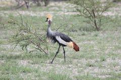 Mahem o Grey Crowned Crane Foto de archivo
