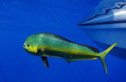 Mahi de Mahi ou poissons de dauphin Images libres de droits