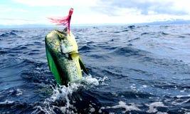 Mahi mahi or Dolphin fish jumping. royalty free stock images