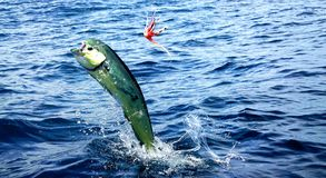 Mahi mahi or Dolphin fish jumping, hooked to a red lure royalty free stock photography