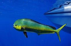 Mahi mahi或海豚鱼 免版税库存图片