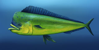 Mahi Mahi - Digital Painting. Digital illustration of a mahi mahi fish swimming in the ocean Royalty Free Stock Image