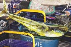 Mahi-mahi dolphinfish sold in Santa Cruz public market, Mindoro island, Philippines. Mahi-mahi or dolphinfish Coryphaena hippurus is a large pelagic fish whose royalty free stock photo
