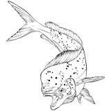 Mahi Mahi fiskvektor Illlustration Arkivbilder