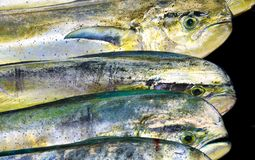 Mahi Mahi Stock Photo