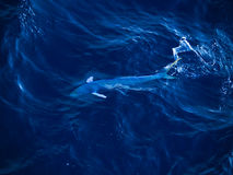 Mahi Mahi, hippurus Coryphaena, που κολυμπά εν πλω Στοκ εικόνες με δικαίωμα ελεύθερης χρήσης