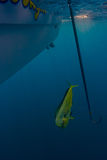 Mahi prepares to be gaffed. A bull Mahi Mahi is pulled into position to be gaffed and boated royalty free stock image