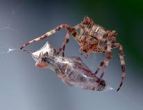 Mahlzeit der Spinne Stockfoto