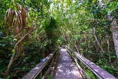 Mahogany Hammock Trail of the Everglades National Park. Boardwalks in the swamp. Florida, USA royalty free stock image
