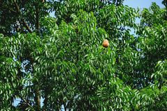 Mahogany. Litter once a year, the fruit will have a brown shell with the color of the leaves prominently Stock Photo
