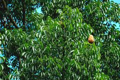 Mahogany. Litter once a year, the fruit will have a brown shell with the color of the leaves prominently Royalty Free Stock Photos