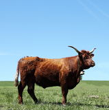 Mahogany Red Salers Cow. The mahogany red Salers cattle breed is one of the oldest in the world and originated in the Auvergne, France where it is raised for Stock Photo