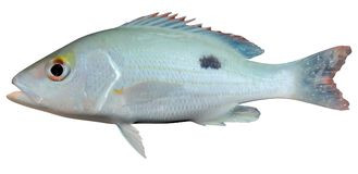Mahogany Snapper. Fish on white background file Stock Photography