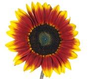 Mahogany Sunflower Stock Photos