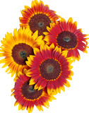 Mahogany Sunflowers. Grouping of mahogany sunflowers with their beautiful red hues blending to yellow Stock Photo