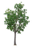 Mahogany Tree isolated on white. Background Royalty Free Stock Photos