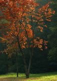 mahogny Fotografering för Bildbyråer