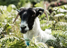 Mahon Falls. Male Goat in the Comeragh Mountains, Waterford Royalty Free Stock Photo