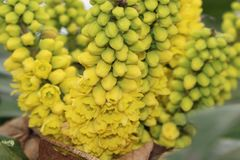 Mahoni aquifolia Zdjęcie Stock