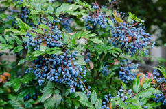 Mahoni aquifolium Fotografia Royalty Free