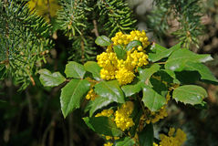 Mahonia Royalty Free Stock Photos