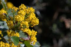 Mahonia aquifolium in blossoms. Mahonia aquifolium, Holly-leaved barberry, Holly-leaf Oregon-grape in blossoms. Close up macro view with a blank space for text royalty free stock photos