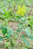Mahonia aquifolium. Branch with leaves and flowers stock photo