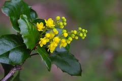 Mahonia aquifolium Flower. Mahonia aquifolium Oregon-grape wild flower holly leaves, evergreen in spring time royalty free stock images