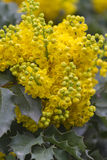 Mahonia aquifolium Stock Photo