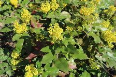 Mahonia aquifolium green leaves and yellow flowers Stock Image