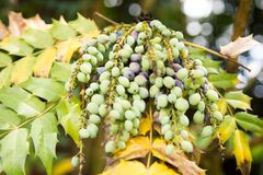 Mahonia aquifolium royalty free stock image