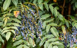 Mahonia aquifolium, Oregon grape berries in garden stock images
