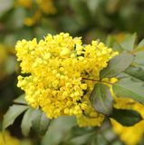 Mahonia aquifolium. Oregon grape. Clusters of yellow flowers blooming in the early spring royalty free stock images