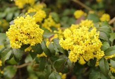 Mahonia aquifolium. Oregon grape. Clusters of yellow flowers blooming in the early spring stock image