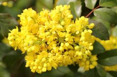 Mahonia aquifolium. Oregon grape. Clusters of yellow flowers blooming in the early spring stock images