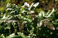 Mahonia aquifolium or Oregon grape. Drops of dew on leaves of Mahonia aquifolium Oregon grape stock photography