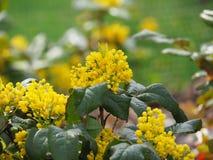 Mahonia aquifolium - Oregon grape. Mahonia aquifolium is a species of flowering plant in the family Berberidaceae royalty free stock photos