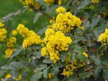 Mahonia aquifolium - Oregon grape. Mahonia aquifolium is a species of flowering plant in the family Berberidaceae stock photos