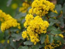 Mahonia aquifolium - Oregon grape. Mahonia aquifolium is a species of flowering plant in the family Berberidaceae stock photo
