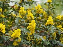 Mahonia aquifolium - Oregon grape. Mahonia aquifolium is a species of flowering plant in the family Berberidaceae royalty free stock image