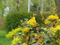 Mahonia aquifolium - Oregon grape. Mahonia aquifolium is a species of flowering plant in the family Berberidaceae stock photography