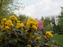 Mahonia aquifolium - Oregon grape. Mahonia aquifolium is a species of flowering plant in the family Berberidaceae royalty free stock photography