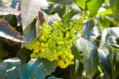 Mahonia aquifolium, Oregon-grape, wild flower stock photo