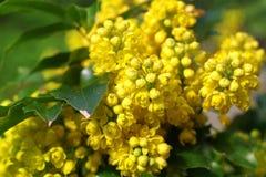 Mahonia aquifolium oregon grape. With yellow flowers stock image