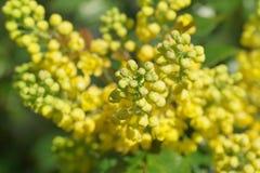 Mahonia aquifolium oregon grape. With yellow flowers royalty free stock photos