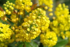 Mahonia aquifolium oregon grape. With yellow flowers stock photo
