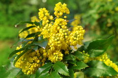 Mahonia aquifolium oregon grape. With yellow flowers stock photos