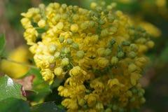Mahonia aquifolium oregon. Grape with yellow flowers royalty free stock images