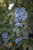 Mahonia aquifolium plant with grapes Royalty Free Stock Photos
