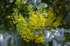 Mahonia aquifolium shrub with yellow flower. Evergreen bush with spiny leaves in bloom, flowers and buds Royalty Free Stock Photography